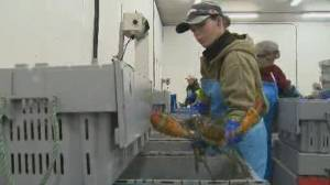Labour shortage impacts start of lobster season (01:37)