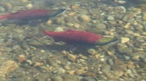 Sockeye salmon to return to Okanagan Lake for first time in over 50 years