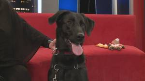 Adopt a Pet: Meet Lily the 2-year old Labrador Retriever/German Shepard
