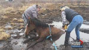 Dramatic horse rescue west of Sundre, Alberta captured on video