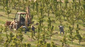Okanagan agricultural producers worry about food chain remaining intact without foreign workers