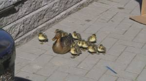 Family of baby ducks rescued from traffic in Langley