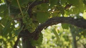 Grape Growers' Assoc. of NS (05:21)
