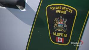 Alberta Fish and Wildlife search for alleged poacher after deer killed with arrow found near Cochrane