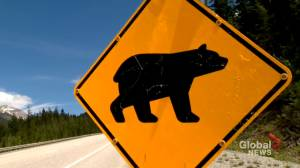 Grizzly bear cubs orphaned after mother hit by car (02:00)
