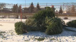 The process of recycling your Christmas Tree
