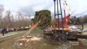 Nova Scotia tree begins traditional journey to Boston
