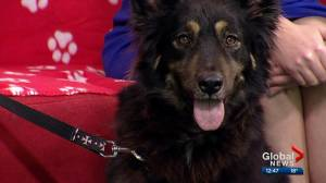 Calgary Humane Society Pet of the Week: Tibet