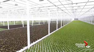 Southern Alberta greenhouse becomes sole lettuce supplier for Wendy's Canada (01:40)