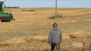 Harvest in Saskatchewan impacted by cool and wet weather