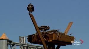 Osprey nest relocation has Calgary birdwatchers concerned about hawk's survival (01:59)
