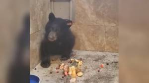 Bear cub 'apprehended' trying to cross the Canadian border now in care (01:21)