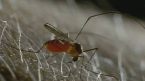 Higher numbers of mosquitoes in B.C. this season