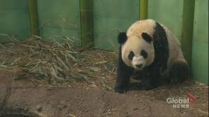 Flight cancellations may make it tough for Calgary Zoo pandas to get bamboo