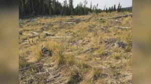 BC's forestry watchdog flags challenges with forest replanting