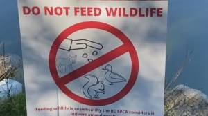Feeding wildlife in Vancouver parks could cost you (03:27)