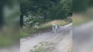 Hollywood ending for Jasper the Great Pyrenees after a 3-day wild adventure