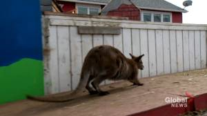 Wallaby survives being bait in Alberta dog fighting ring (01:48)