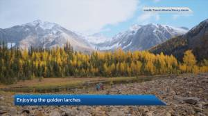 Hikes to see the golden larches