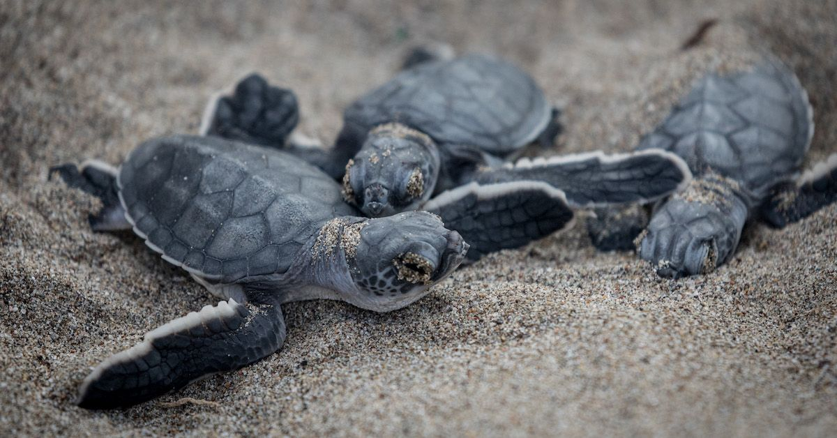 sea-turtles-nesting-1560452947995.jpg