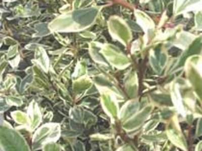When can I prune my Italian Buckthorn Rhamnus alaternus