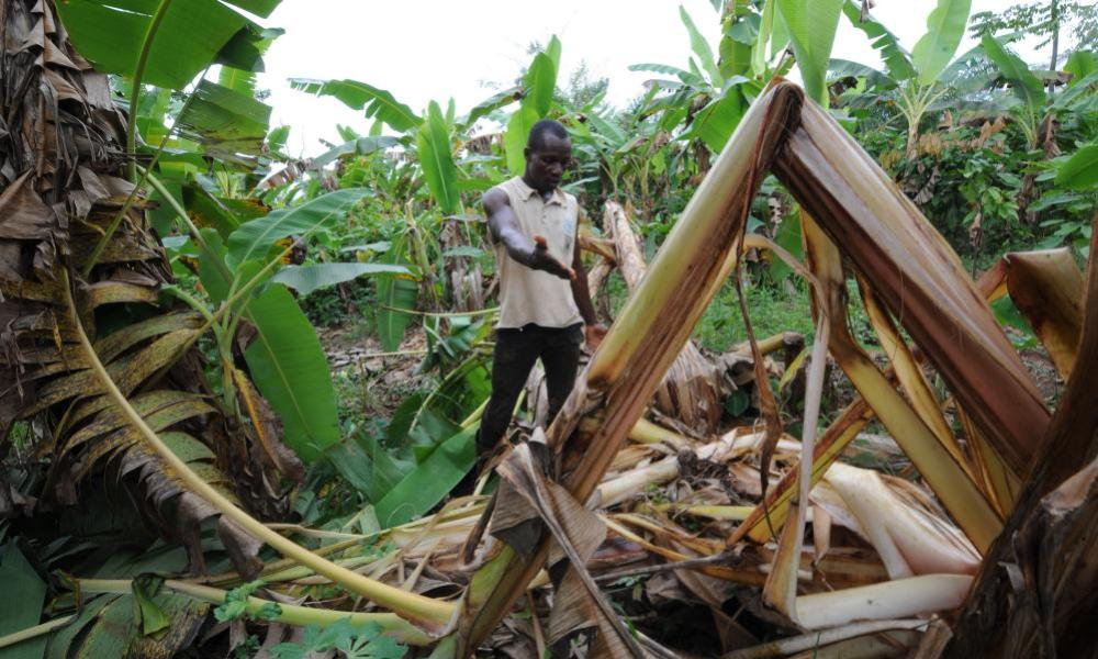 An Ivorian farmer shows the damage done to his cocoa plantation by an elephant.