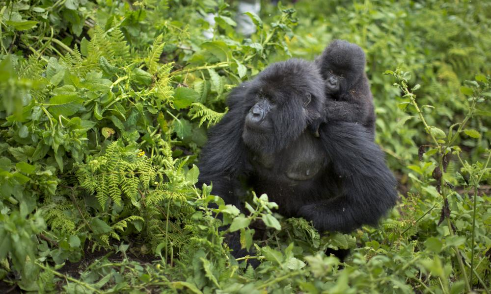 A baby mountain gorilla clings to the back of its mother, on Mount Bisoke volcano in Volcanoes National Park, northern Rwanda.