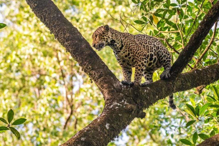 A jaguar in a tree on Maracá-Jipioca reserve.