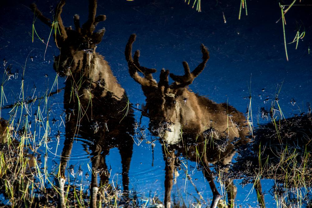 Reflection of reindeer in a camp of herders on the left bank of the Yenisei River.