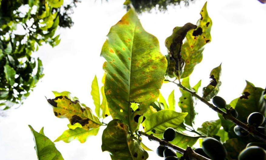 Picture of a coffee plant infested with the coffee-eating fungus roya.