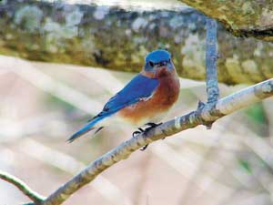 A bluebird checks out Karen Beatty's yard in Hunt Club Forest, Virginia Beach
