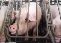 وضعیت حیوانات در دامداریهای صنعتی (قسمت ۴) – خوکها