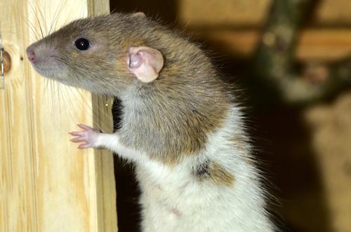 کوچهپسکوچههای ذهن من – موش صحرایی، پسرم و من