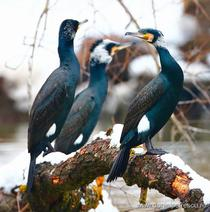 Cormoran mare 3
