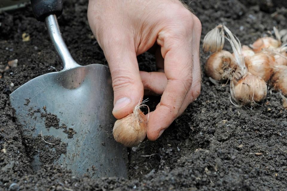 How To Grow Saffron - gardenersworld.com