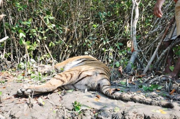Tigers Die In MP