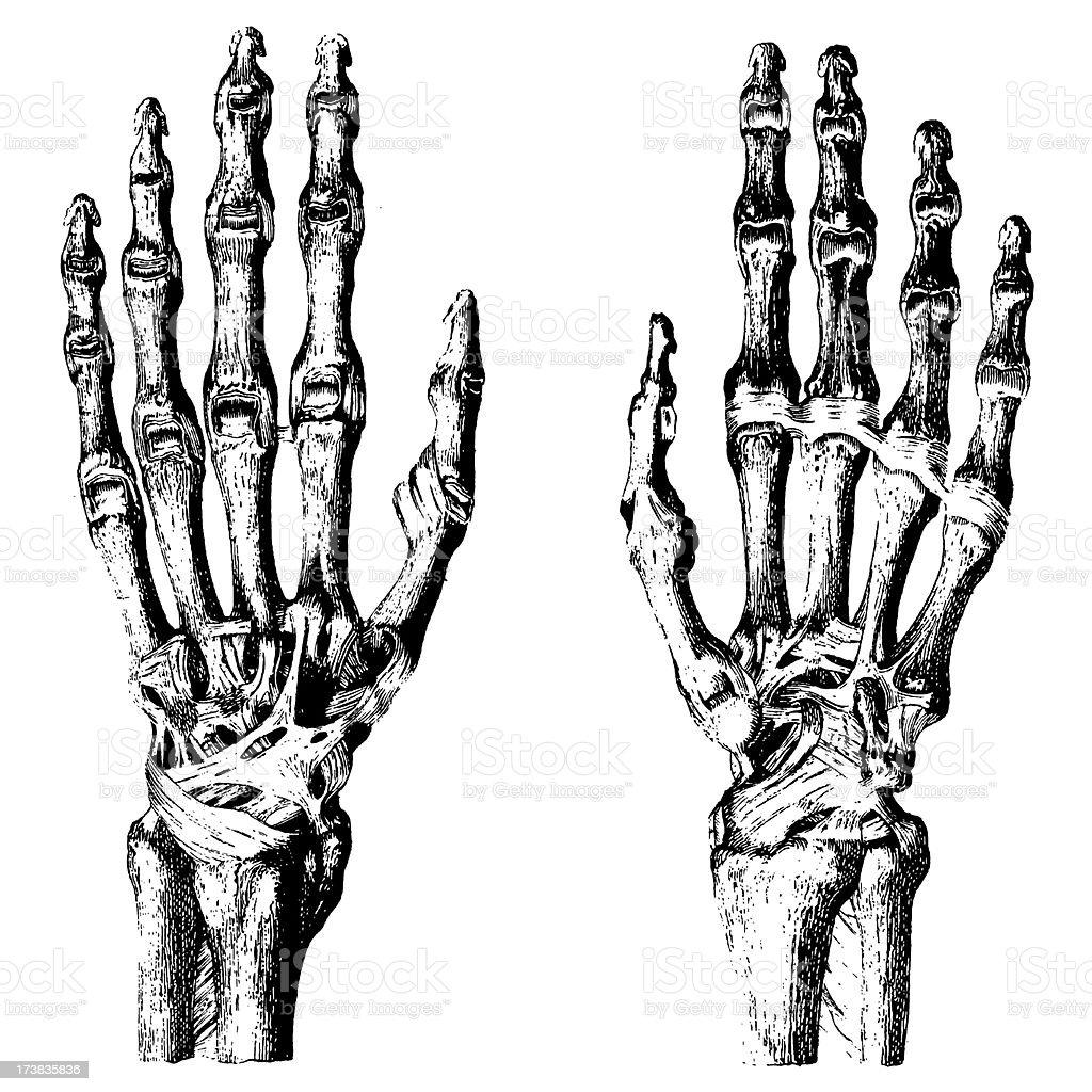 人間の手の骨 - 19世紀のベクターアート素材や畫像を多數ご用意 ...