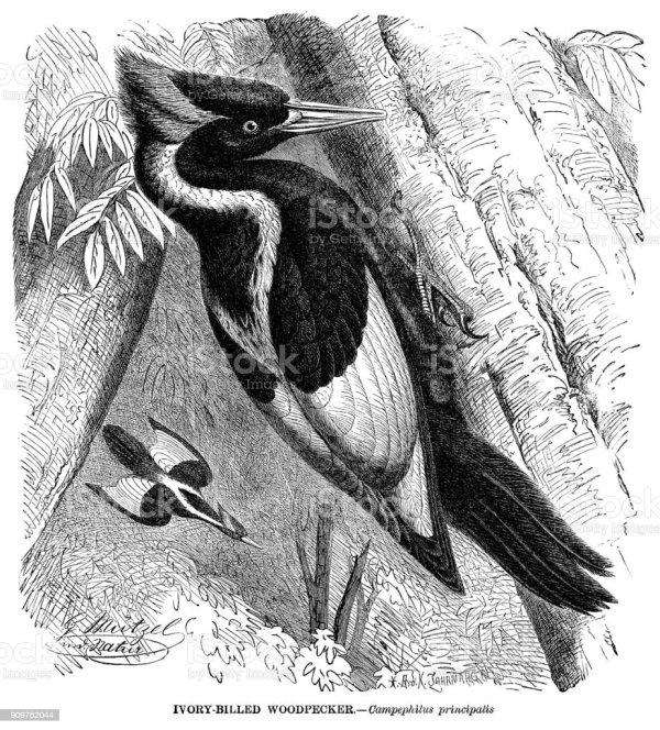 welcome ivorybilled woodpecker - 553×612