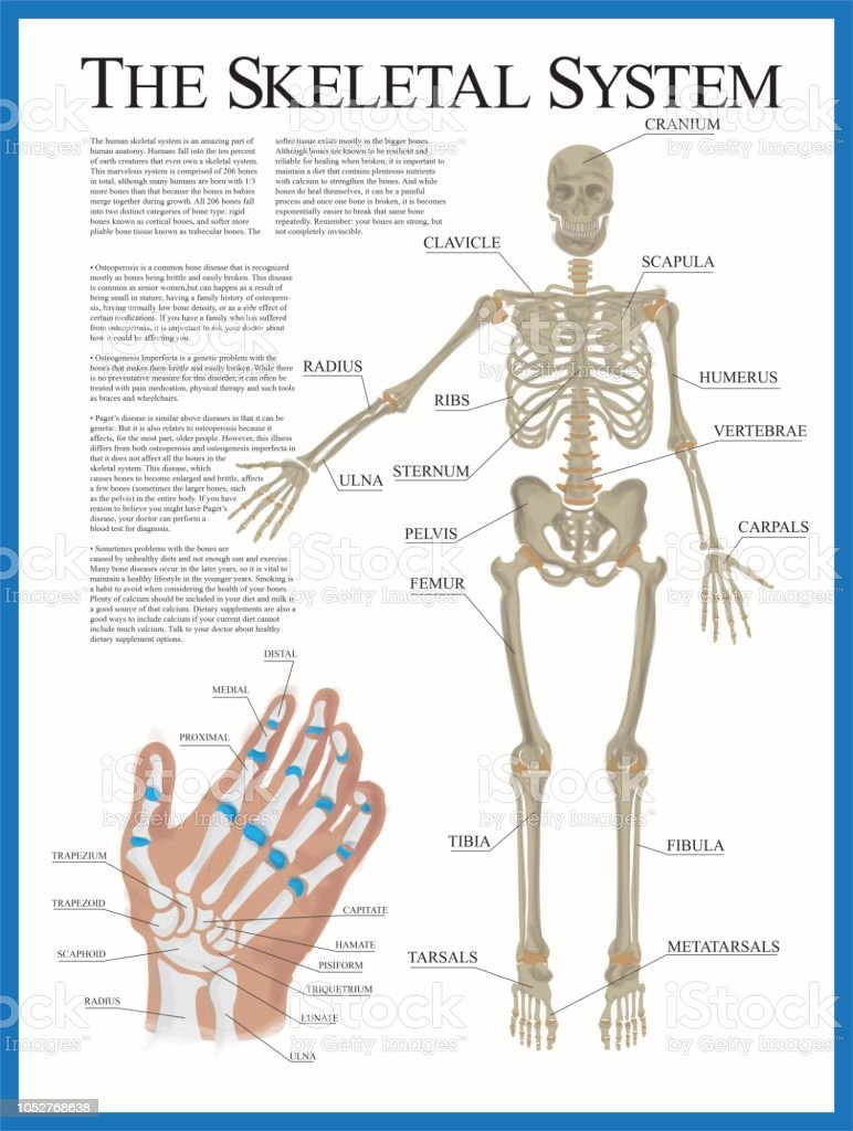 skeletal poster stock illustration download image now istock