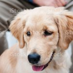 Adorable Golden Retriever Puppy In Park Stock Photo Download Image Now Istock
