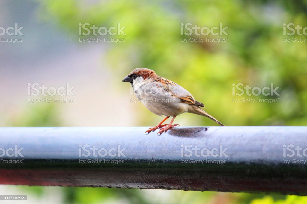 Beautiful Male House Sparrow Bird In Nature Photography Stock Photo Download Image Now Istock