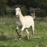 Beautiful Palomino Horse Running Stock Photo Download Image Now Istock