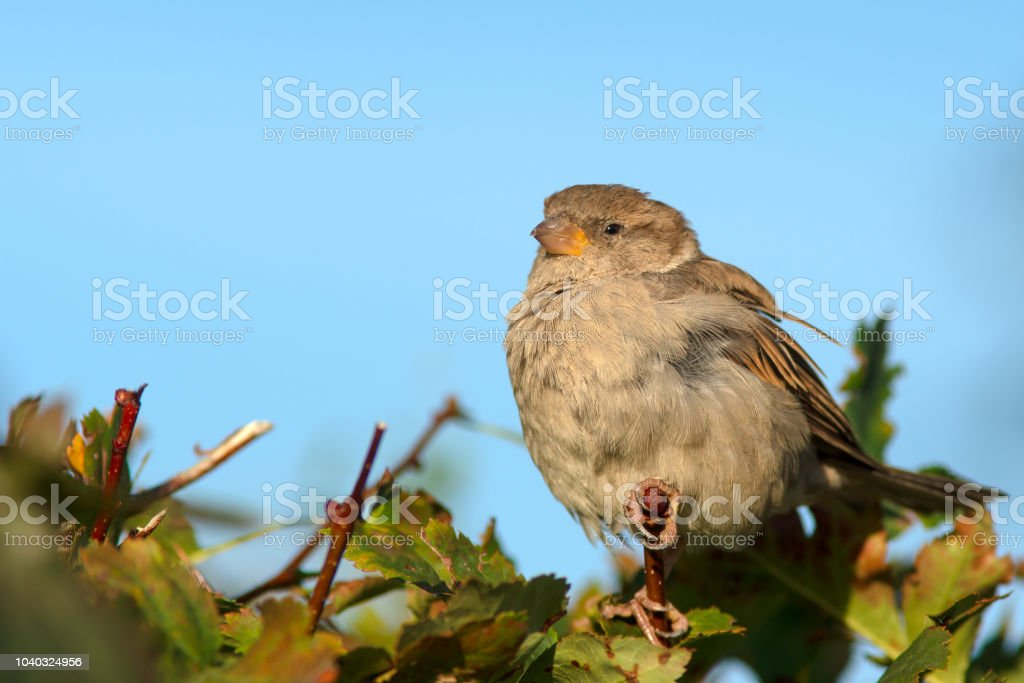 Beautiful Sparrow Bird On A Bush Stock Photo Download Image Now Istock