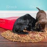 Een Zwarte En Chocolade Labrador Puppies Overvallen Een Gemorste Zak Hondenvoer 5 Weken Oud Stockfoto En Meer Beelden Van Binnenopname Istock