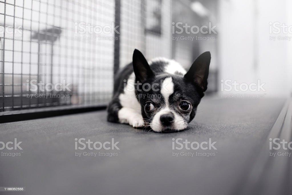 https www istockphoto com fr photo chien noir et blanc de chihuahua se couchant sur un tapis roulant gm1188352555 336025240