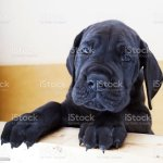 Black Great Dane Puppy Stock Photo Download Image Now Istock