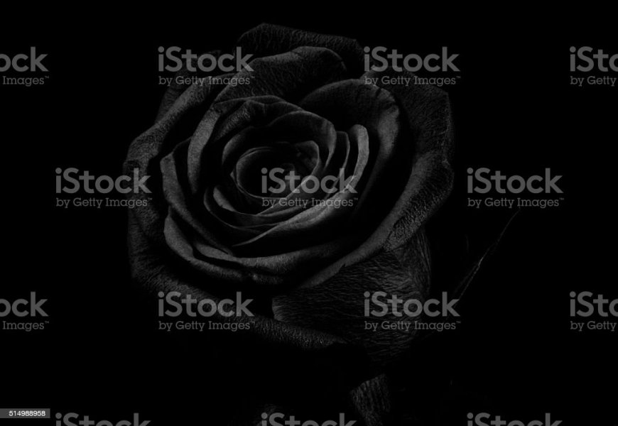 Royalty Free Flower Black Background Pictures  Images and Stock     Black Rose stock photo