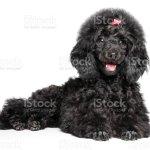 Black Toy Poodle Puppy Graceful Lying Stock Photo Download Image Now Istock