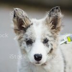 Blue Merle Border Collie Pup Stock Photo Download Image Now Istock