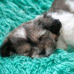 A Brown And White Bichon Shih Tzu Puppy Is Asleep On A Turquoise Colored Blanket Stock Photo Download Image Now Istock